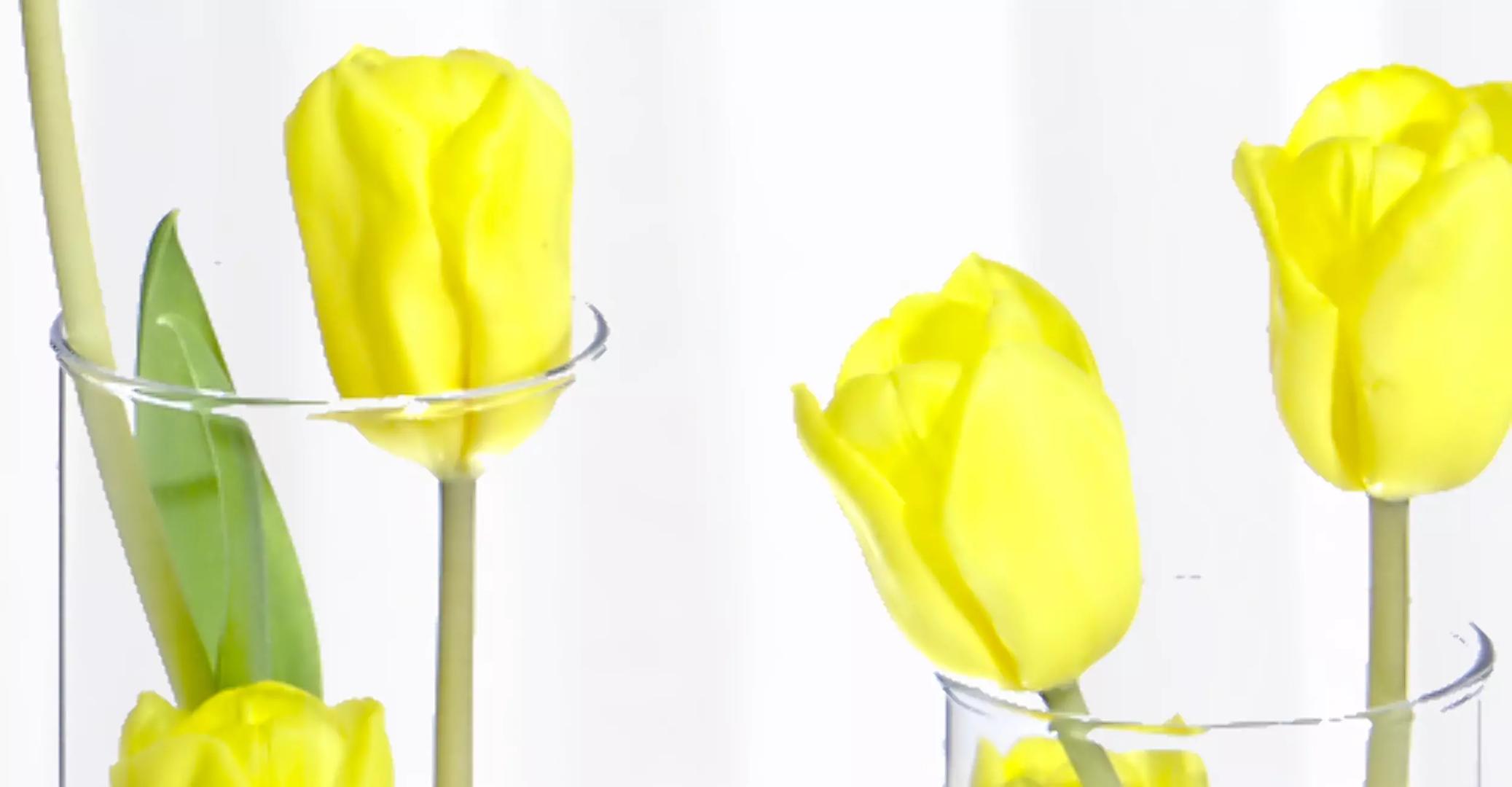 Natura Tulipán ( Amarillo )